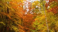 Autumn deciduous forest - stock footage