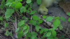 Dead baby goose death animal Stock Footage