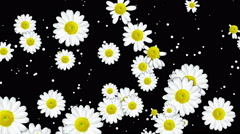 Rain from chamomile Stock Footage