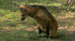 A long legged Maned Wolf (Chrysocyon brachyurus) squats showing dark mane. - stock footage