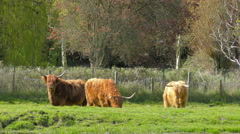 Herd of Highland Cattle Stock Footage