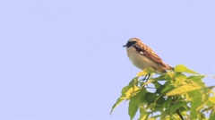 Beautiful small tree sparrow singing at the branch. Stock Footage