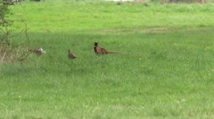 Pheasant and partridge on the meadow. Stock Footage