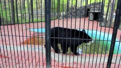 NOVOSIBIRSK, RUSSIA : Asiatic black bear walking in the aviary - stock footage