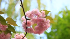 Bottom up view of the bright pink flowers blooming closeup in daylight Stock Footage