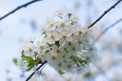 Cherry inflorescence in the soft evening light. - stock photo