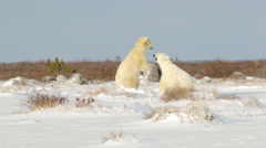 Polar bears fighting sparring in the snow - stock footage