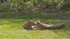 A pair of cuddly cheetahs (Acinonyx jubatus) Stock Footage