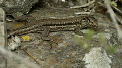 Lizard on the rocks nature, moving quickly 1080p Stock Footage