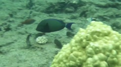Blue-spine Surgeonfish, Kapoho and Waiopae tide pools Stock Footage
