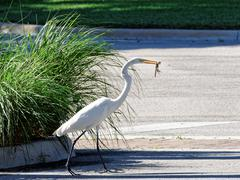 Great Egret Making Off with Prize Stock Photos