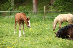 Suprised foal looking at roll around mare - stock photo