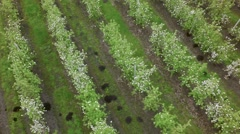 AERIAL: apple orchard in bloom period - stock footage