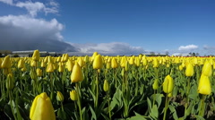 Colorful Spring Panorama of Tulip Farm Stock Footage