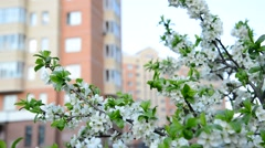 Plum blossoms against a background of  house Stock Footage