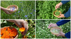 Hand gather herb plants. Alternative medicine. Footage collage Stock Footage