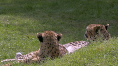 Close up female and male cuddling cheetahs (Acinonyx jubatus) Stock Footage