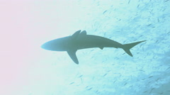 UHD underwater shot of silky shark, silhouette melting in sunlight, Red Sea Stock Footage