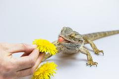 Agama fires tongue toward a dandelion Stock Photos