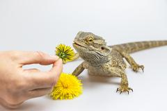 Female hand is offering a dandelion to Agama Stock Photos