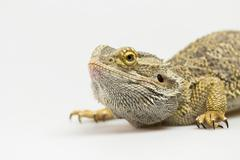 Closeup side view of Agama lizard Stock Photos