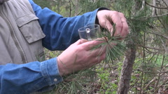 Herbalist picking pine buds in spring Stock Footage