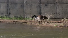 Solo Canadian Goose Drinking from River Stock Footage