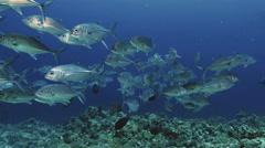 UHD underwater shot of schooling big eye jackfish in Red Sea Stock Footage