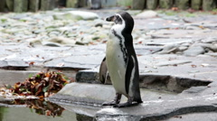 The penguin cleans feathers Stock Footage
