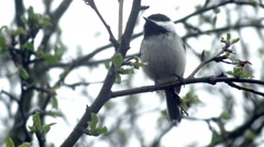 Spring Chickadee in the Rain Stock Footage