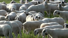 spectacles sheeps - stock footage