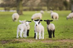 Spring Lambs Baby Sheep in A Field Stock Photos