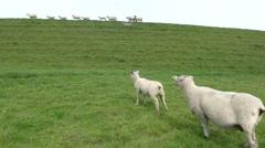 Sheep on the Eider Dam Stock Footage