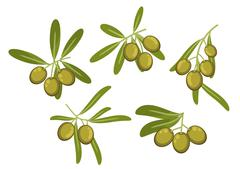 Olive tree branches with green fruits and leaves Stock Illustration