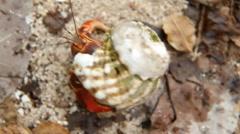 Hermit crab crawling along. Saint Martin, Caribbean. Stock Footage