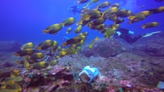 Diving with a flock of clarion fish near Socorro island. Stock Footage