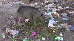 Jaipur, Rajasthan, India, December 2012 - pig eating rubbish Stock Footage