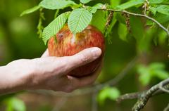 Hand with red apple in tree Stock Photos