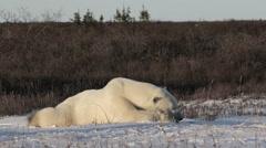 Polar bear sleeping on the snow Stock Footage