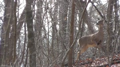 Amid Nature - Whitetail Deer are easy to spot in a snowless winter forest Stock Footage