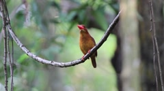 Ruddy kingfisher with sound Stock Footage