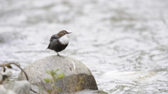 White-throated dipper on a rock preening Stock Footage