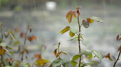 Beautiful Nature Background Rain Drops On The Branch Of A Rose - stock footage