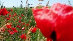 Papaver Rhoeas Poppies Stock Footage
