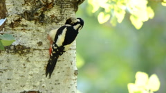Great spotted woodpeckers bringing food to the nest Stock Footage