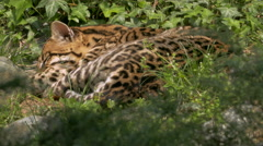 Sleeping Dwarf leopard (Leopardus pardalis) or ocelot in Nahuatl language Stock Footage
