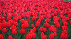 Blooming red tulips pan shot Stock Footage