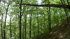 Wind that moves the green leaves of beech forest in the middle of a hot summer Stock Footage