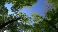 Tree trunks that rise high above the head forming a canopy sky blue Stock Footage