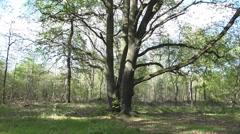 Majestic old oak tree tilt shot spring season nature reserve Stock Footage